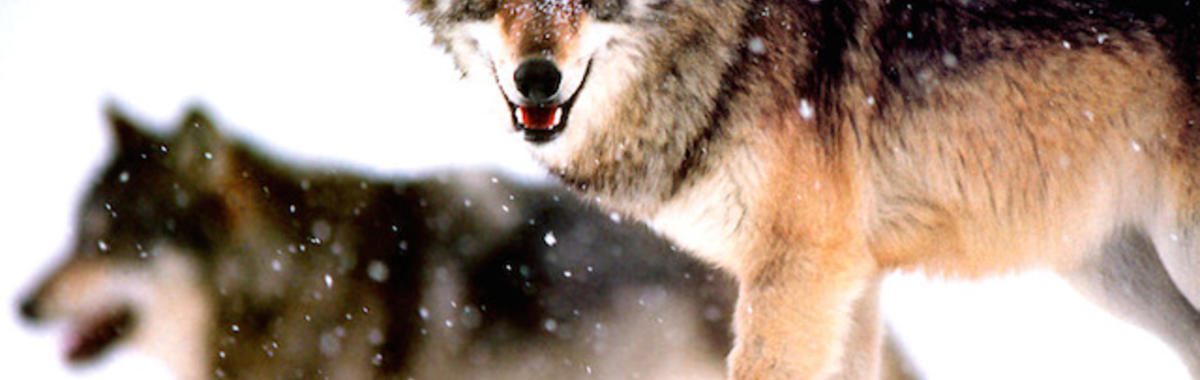《狼图腾》里受伤和死亡的动物,是怎么回事?