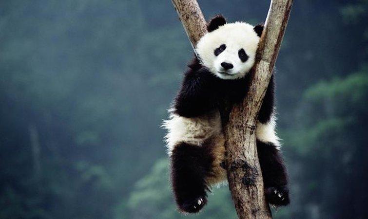 """《野生动物保护法》将大熊猫列为""""一级保护动物"""""""