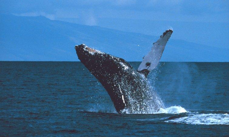 鲸鱼的演化史很有意思。大约 5000 万年前它们还是陆生的、有蹄的哺乳动物。几百万年后,它们就演化出了鳍,开始在海洋里生存。在大约 2000 万到 3000 万年前,远古鲸鱼中的一部分演化出了滤食能力,这意味着它们一口就可以吞下大群食物。不过即使有了这种滤食能力,鲸鱼还是在几百万年的时间里一直保持着中等身材。  但在某个时刻,突然它们就变得特别特别大,就像蓝鲸那样,史密森学会国家自然历史博物馆(Smithsonian Institutions National Museum of Natural Hi