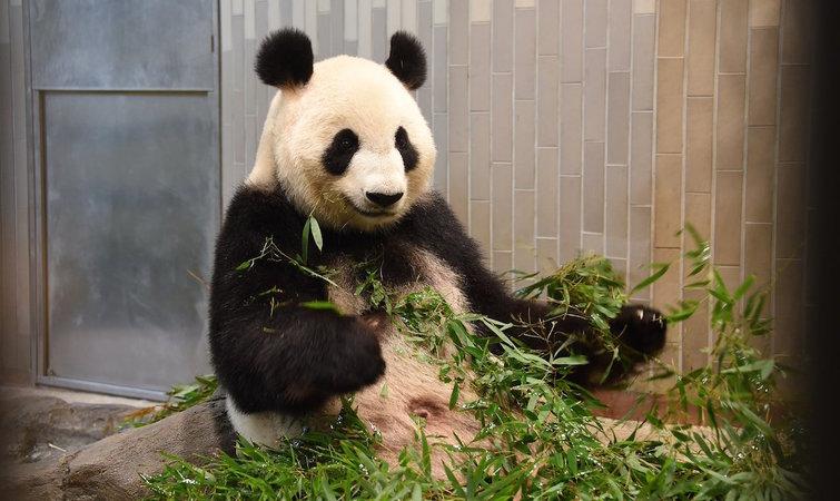 上野动物园有个熊猫诞生,它每年将会给东京带来十几亿元的收入