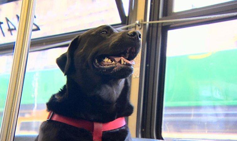 所以,如果有一天,你去西雅图的时候在 D 线巴士上看到了一只黑色的拉布拉多犬,千万不要太惊讶哦。 最后,我还想安利下文章开头提到的那只黑猩猩。视频中的主角黑叫做小庞,是饲养员宫泽先生训练的一只天才黑猩猩。他当年可是在日本动物节目《志村动物园》里有一个带着小狗詹姆斯当小帮手的独立环节,后来被台湾引进,剪成了一档专门的综艺节目叫《狗狗猩猩大冒险》。 不过,小庞因为动物保护者的抗议已经回到了动物园,不再穿着人类的衣服录制综艺节目了,牛头犬詹姆斯也因年事过高在前几年已经去世了。 题图来自 YouTube