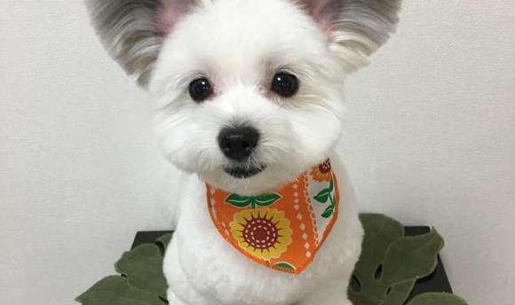 这些天,一只可爱的小狗因为它的大耳朵而风靡了全球的网络.