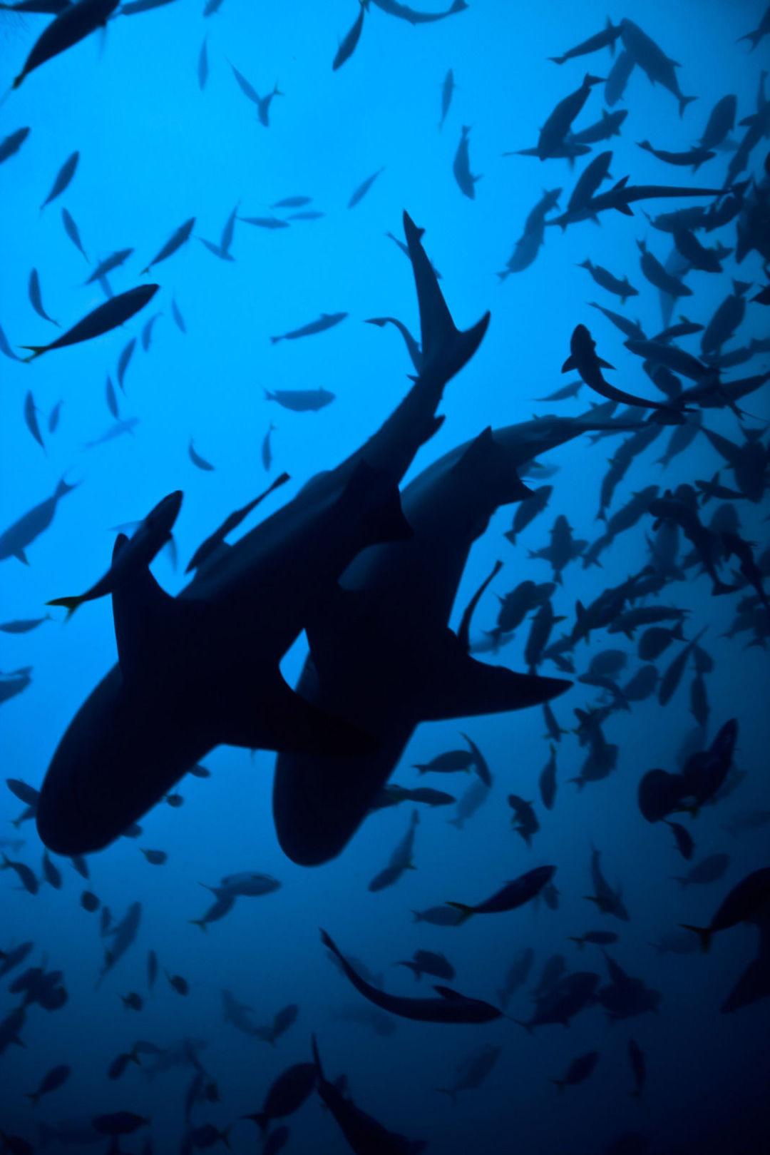 是什么让这个美国人8年来一直在深海给鲨鱼拍照?_设计_好奇心日报