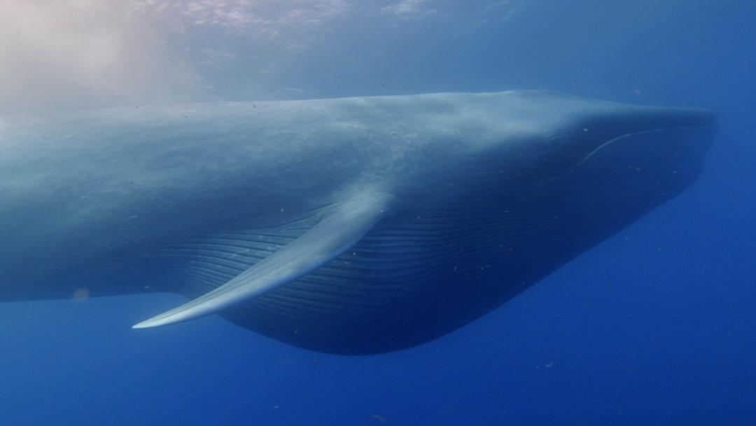 鲸鱼的演化史很有意思。大约 5000 万年前它们还是陆生的、有蹄的哺乳动物。几百万年后,它们就演化出了鳍,开始在海洋里生存。在大约 2000 万到 3000 万年前,远古鲸鱼中的一部分演化出了滤食能力,这意味着它们一口就可以吞下大群食物。不过即使有了这种滤食能力,鲸鱼还是在几百万年的时间里一直保持着中等身材。 但在某个时刻,突然它们就变得特别特别大,就像蓝鲸那样,史密森学会国家自然历史博物馆(Smithsonian Institutions National Museum of Natural His