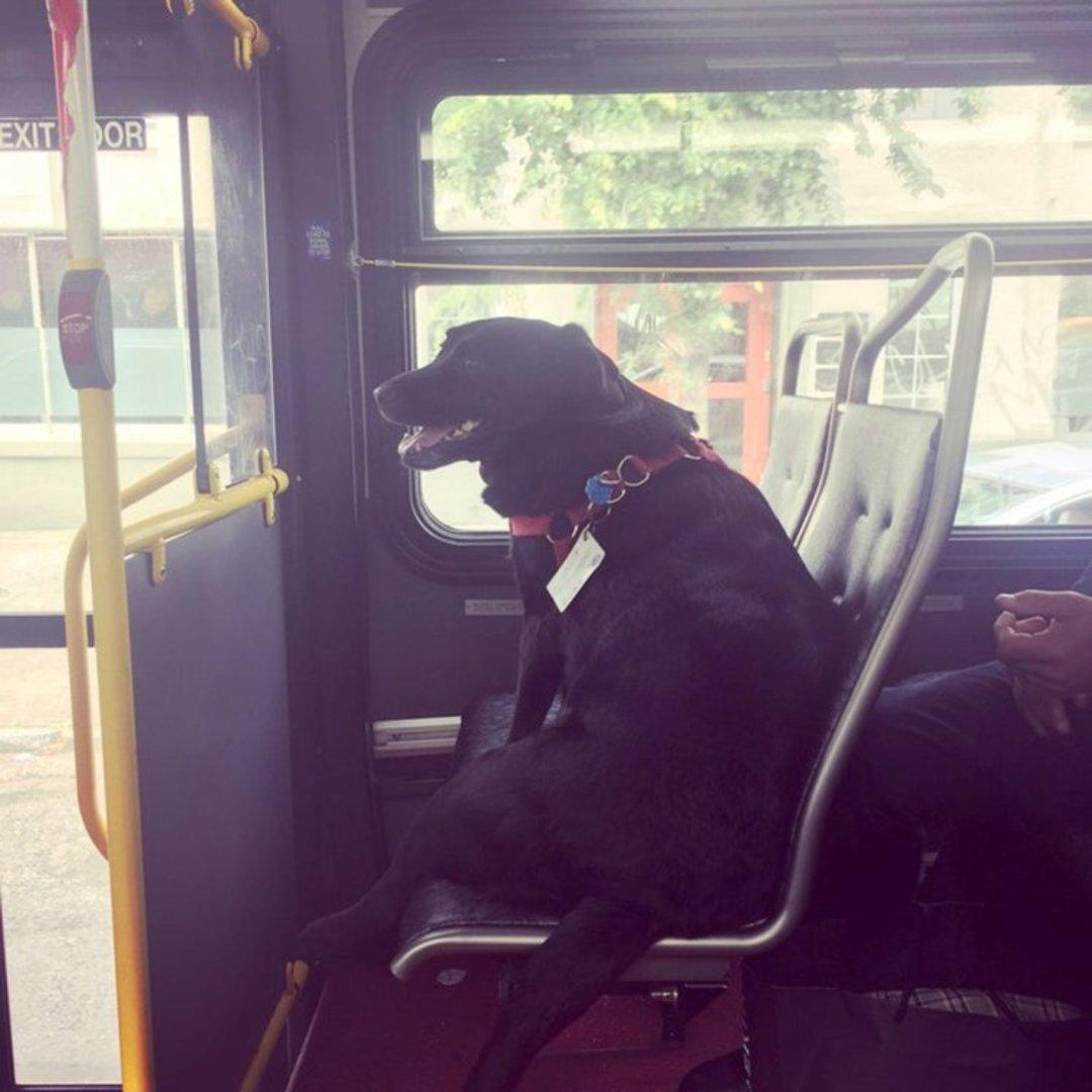 「这世界」如果你去西雅图坐公交车,看到这条狗时可别太惊讶_文化_好奇心日报